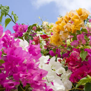 fiji wedding flowers bougainvillea